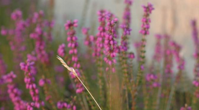 herbe séchée sur fond de bruyère